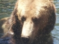 Grizzly Bear Close Up Akron Zoo