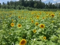 Pick-Sunflowers-Arrowhead-Orchard-Ohio