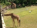 Giraffes at Cleveland Zoo