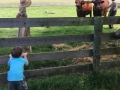 Toddler Peering at Oxen at Hale Farm and Village