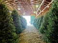 Freshly Cut Christmas Trees Manners Christmas Tree Farm