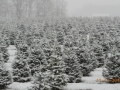Huge Selection of Cut Your Own Christmas Trees Manners Christmas Tree Farm