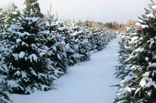 Medina Christmas Tree Farms