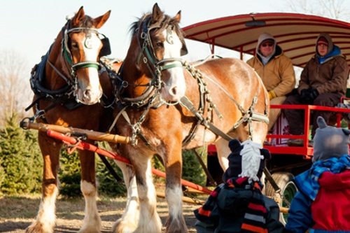 horse_drawn_wagon_rides_at_pioneer_trails_tree_farm