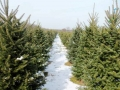 christmas_trees_at_pioneer_trail_tree_farm