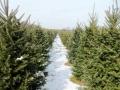 christmas_trees_at_pioneer_trail_tree_farm