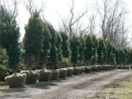 potted_trees_available_at_pioneer_trails_tree_farm