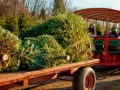 wagon_rides_to_the_fields_to_pick_christmas_trees