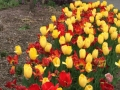Tullips at Stan Hywet