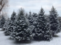 Cut Your Own Christmas Tree Storeyland Tree Farm Ohio