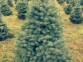 Evergreen Trees at Storeyland Tree Farm