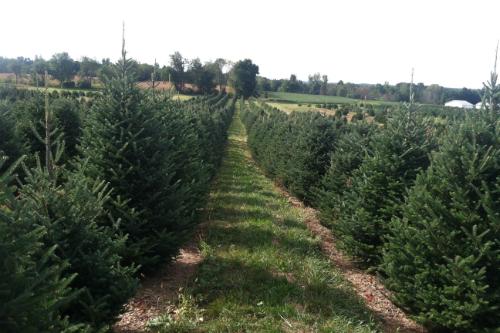 beautiful_christmas_trees_at_sugar_grove_tree_farm cut_your_own_christmas_trees_near_columbus_ohio choose and cut your own christmas tree ashland ohio - Christmas Tree Farms In Ohio