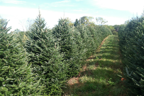 sugargrove christmas tree farm ohio - How To Start A Christmas Tree Farm
