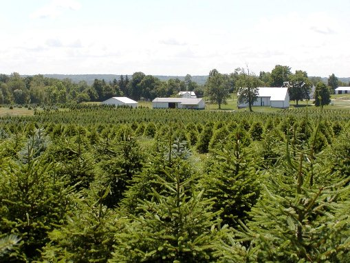 choose your own christmas trees sugargrove tree farm - How To Start A Christmas Tree Farm