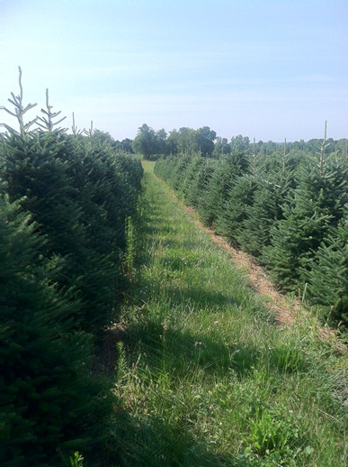 cut_your_own_christmas_trees_near_columbus_ohio choose and cut your own christmas tree ashland ohio - Christmas Tree Farms In Ohio
