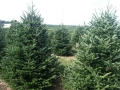 Christmas Trees at Sugargrove Tree Farm