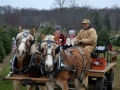 Horse-Drawn-Wagon-Rides-through-Sugargrove-Tree-Farm