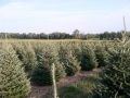 beautiful_christmas_trees_at_sugar_grove_tree_farm