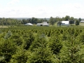 choose-your-own-christmas-trees-sugargrove-tree-farm