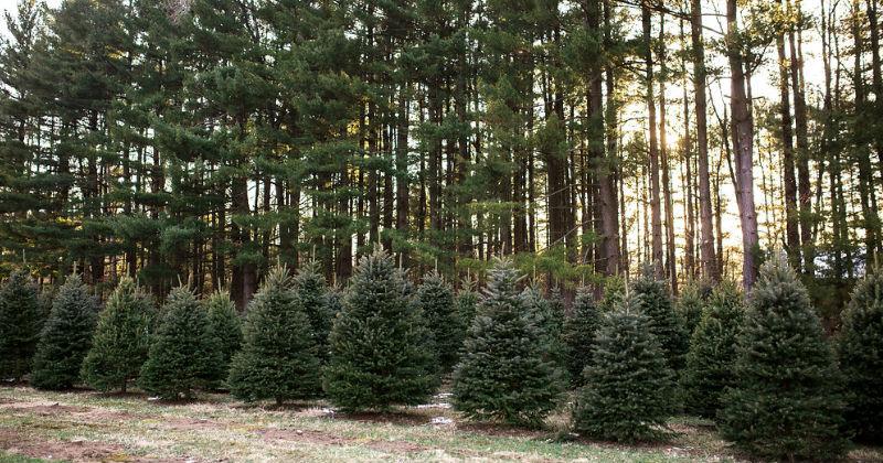christmas tree farm northeast ohio sugar pines farm - Christmas Tree Farms In Ohio