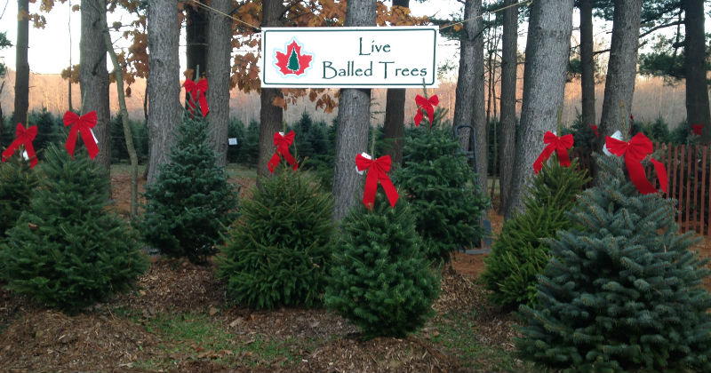 Live Balled Trees at Sugar Pines Ohio