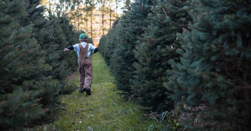 top christmas tree farm ohio sugar pines - Christmas Tree Farms In Ohio