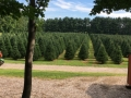 Beautiful Selection of Christmas Trees at Sugar Pines Farm Ohio