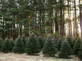 Christmas Tree Farm Northeast Ohio Sugar Pines Farm