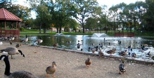 Ducks at Price Park
