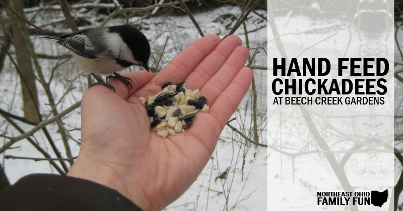 Hand feed Chickadees at Beech Creek Gardens