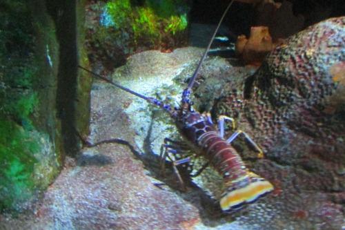 Lobsters at Ripley's Aquarium