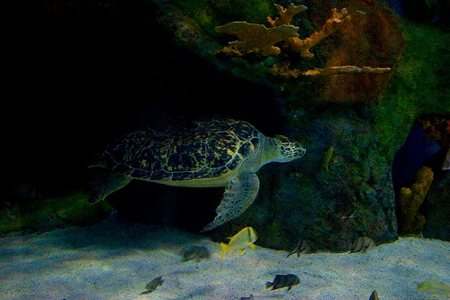 Green Sea Turtle at Ripley's Aquarium