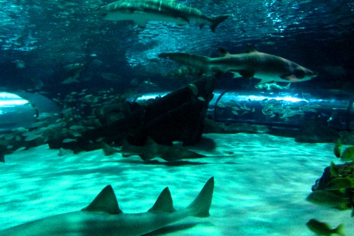 Sharks at Ripley's Aquarium