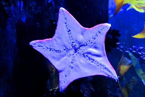 Starfish at Ripley's Aquarium