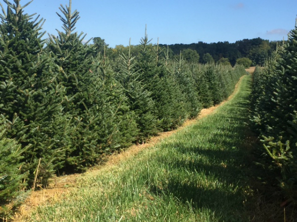 Beautiful Trees at Sugar Grove Tree Farm