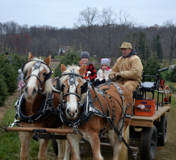 Horse Drawn Wagon Rides through Sugargrove Tree Farm