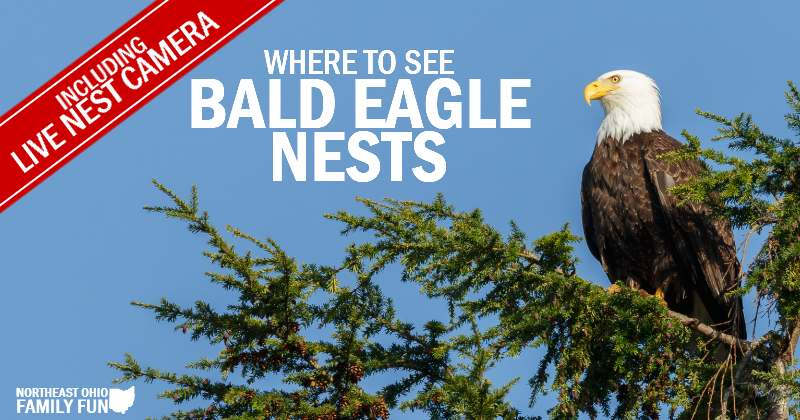 Bald Eagles at Walborn Reservoir, Rocky River Reservation & Sandy Ridge Reservation