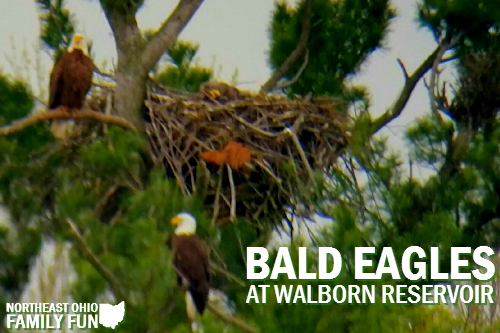 Bald Eagles at Walborn Reservoir Ohio