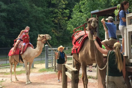 Camel Rides at Cleveland Zoo