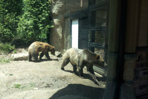 Grizzly Bear Akron Zoo