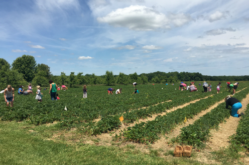 Picking Strawberries at Monroe's Orchard