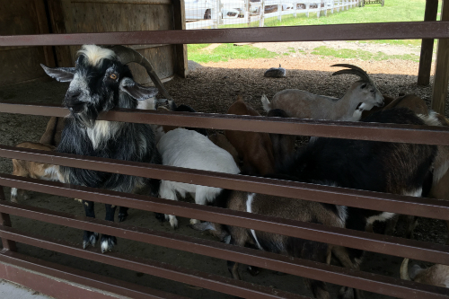 Goats at Wagon Trails Petting Zoo