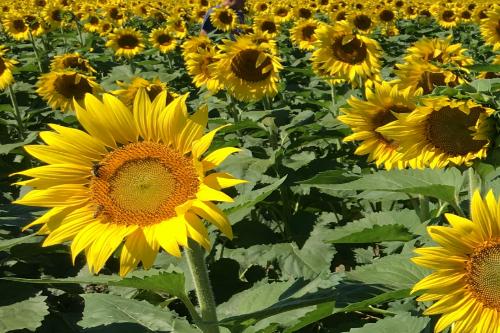 Field of Sunflowers Avon Ohio