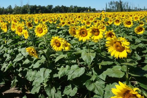 Huge Field of Sunflowers Avon Ohio