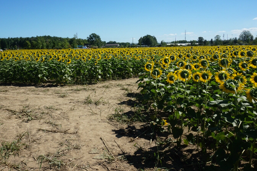 Pathways at Prayers from Maria Sunflower Field