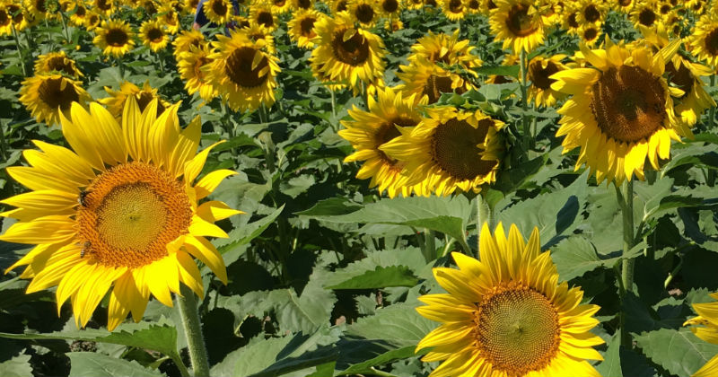 Prayers From Maria Sunflowers