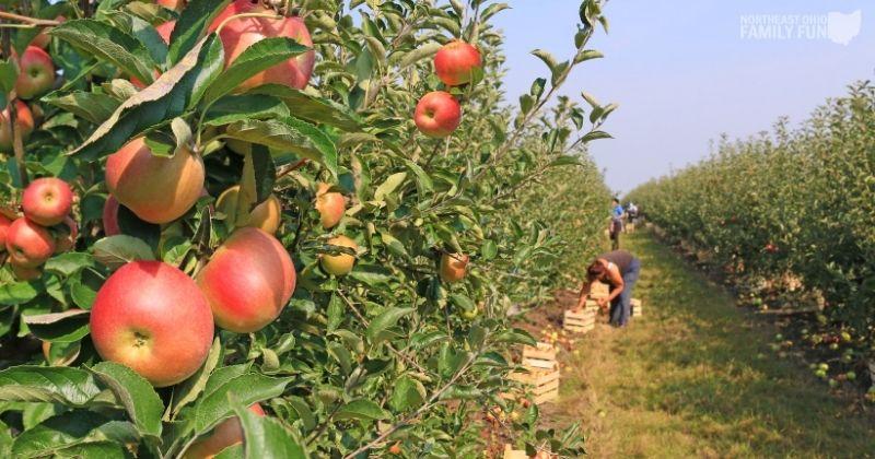 Apple Picking in Ohio