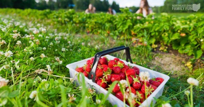 Pick Strawberries Tips Ohio