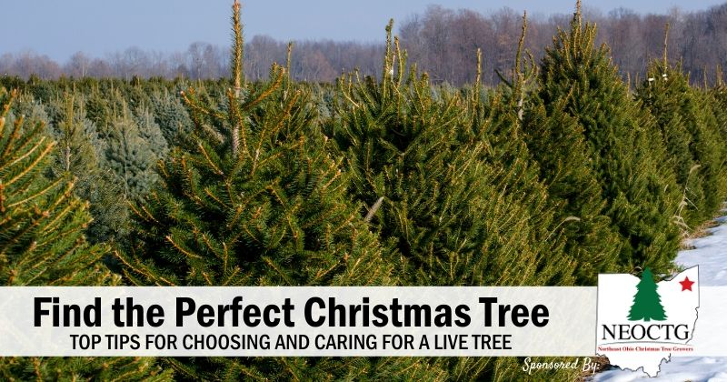 Top Tips for Choosing & Caring for a Live Christmas Tree