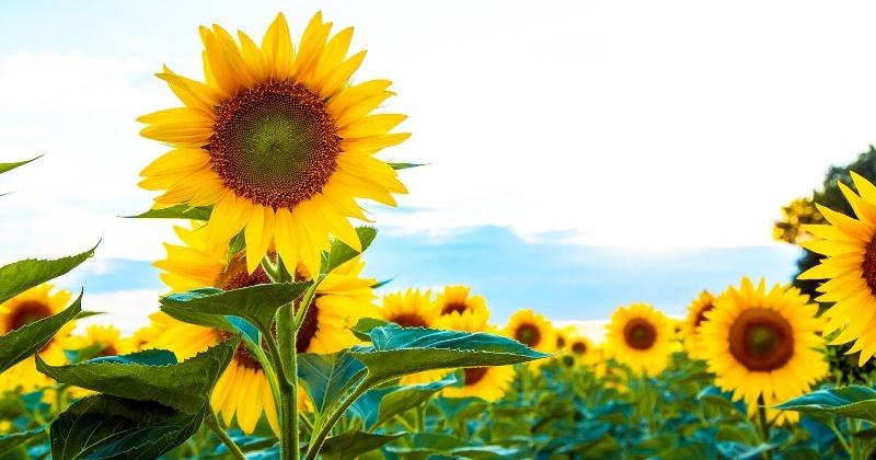11+ Picturesque Sunflower Fields in Northeast Ohio You Must Visit this Year